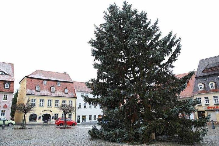 Der schiefe Baum von Pulsnitz: Fichte mit natürlich gewachsener Schlagseite.