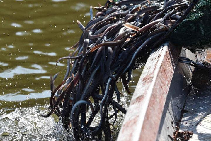 Jungaale werden von einem Boot aus ins Wasser gelassen.