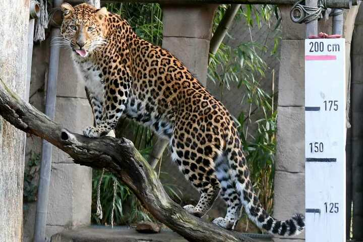 Der chinesische Leopard Julius streckt die Zunge heraus - eigentlich sollte seine Größe gemessen werden.