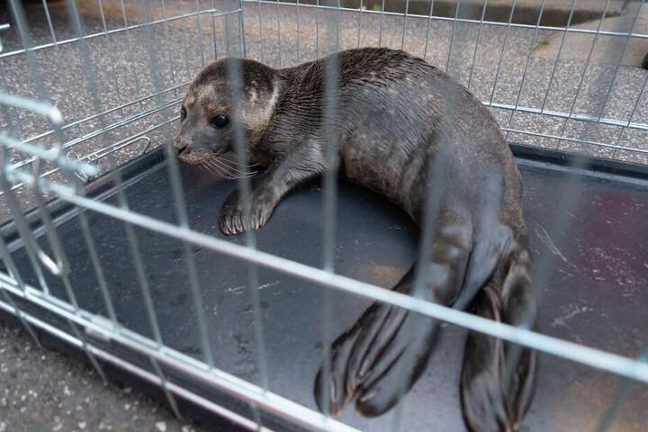In einer Transportbox wurde die junge Robbe in das Tierheim gebracht.