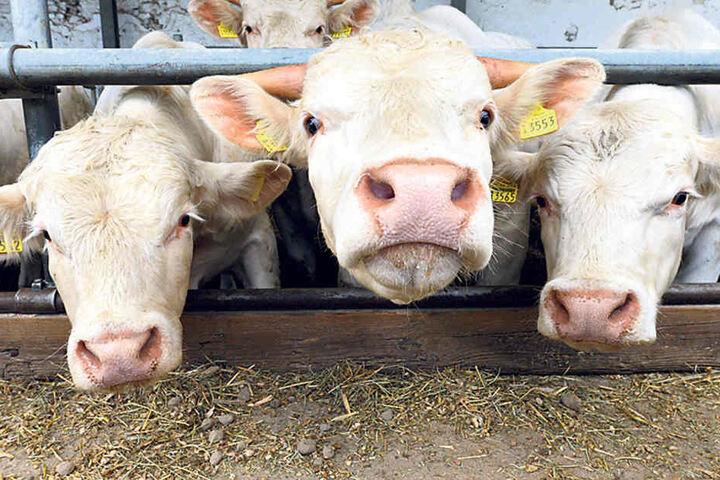 Beim Tag des offenen Bauernhofs  präsentieren die Betriebe ihre Mastrinder.