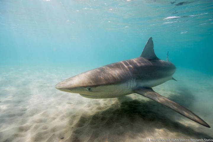 In Australien kann es öfter vorkommen, dass Schwimmer von hungrigen Haien überrascht werden.