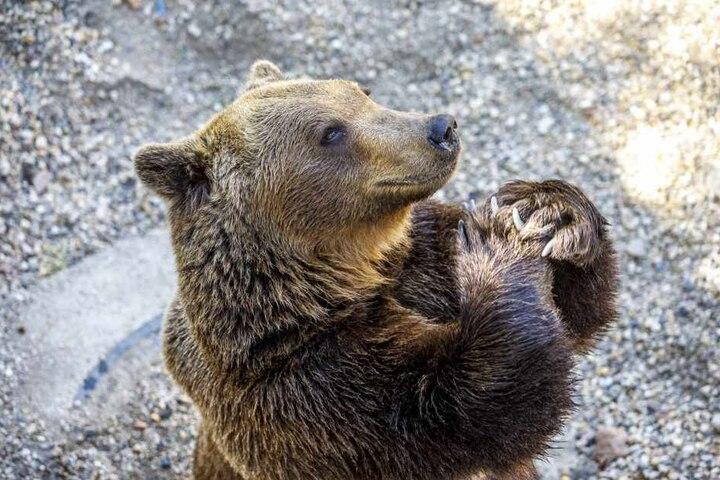 """""""Mach schmuck!"""": Braunbär Benno hört Angela Mierau aufs Wort. Bei diesem Kommando stellt er sich auf die Hinterbeine und """"faltet"""" die Tatzen. Für dieses Kunststückchen bekommt er ein Leckerli. Die Pflegerin: """"Die Bären sind schlau und wissbegierig. Sie wo"""