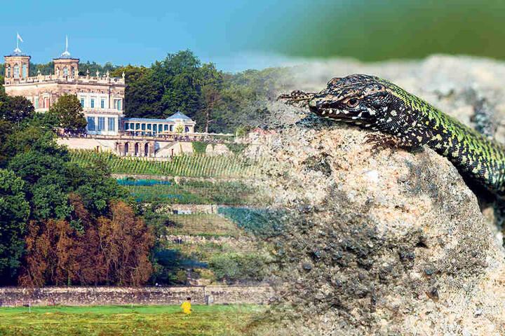 Eine Legende rankt sich darum, wie die Tiere nach Dresden kamen.