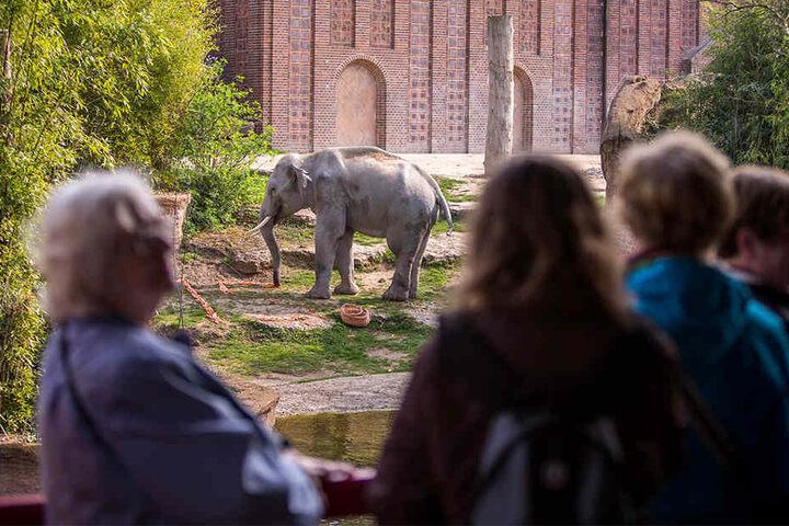 Der Elefant ließ sich von den vielen Schaulustigen nicht von seiner Geburtstags-Leckerei ablenken.