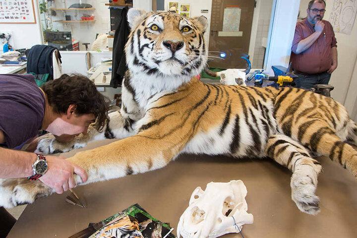So sieht der präparierte Tiger fast fertig aus.