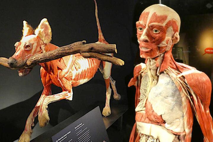 """Im """"MeMu"""" werden plastinierte Tiere und Menschen gezeigt."""