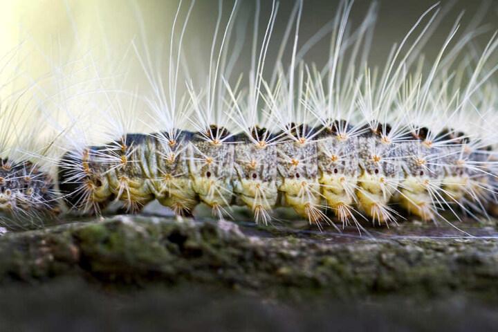 Die Härchen des Eichenprozessionsspinners sind giftig.