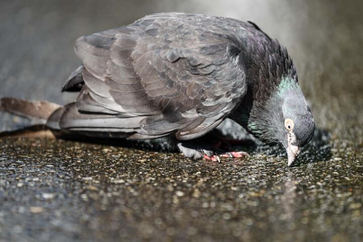 Auch die Tiere waren von der Trockenheit betroffen: Eine Taube versucht hier, Wasser aus einer verdunstenden Pfütze zu trinken.
