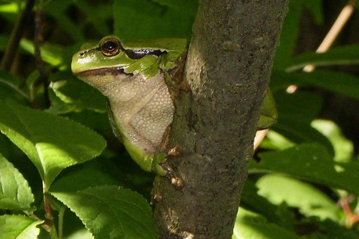 Der Laubfrosch lebt im Gebiet des Holzberges.