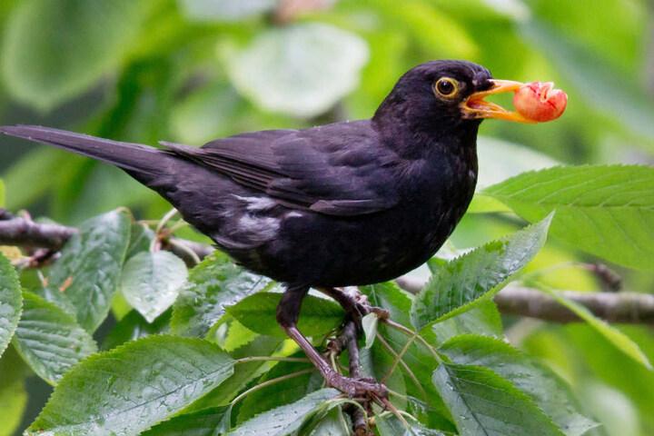 Die Amsel ist der bekannteste Vogel: drei Viertel der bayerischen Schüler kennen sie.