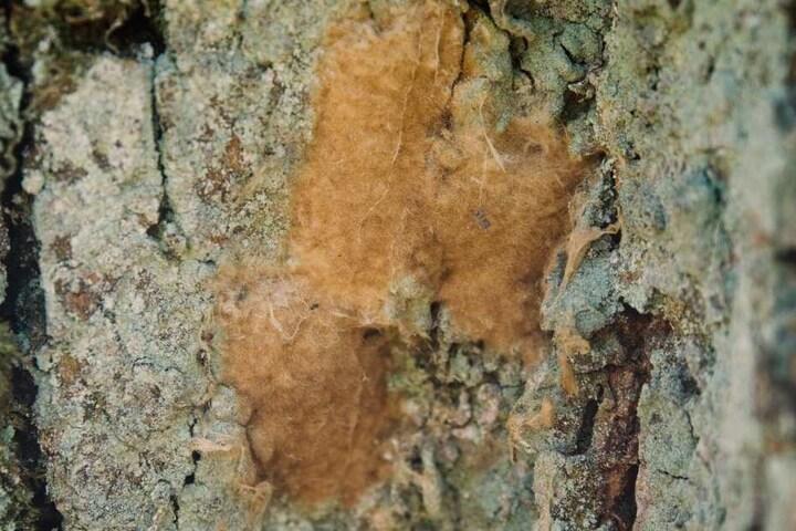 Der Schwammspinner legt seine Eier in einer schwammartigen Masse ab - daher auch sein Name.
