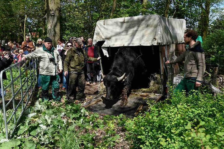 Beim Weideauftrieb wurden sechs Jungbullen auf das Gelände gelassen.