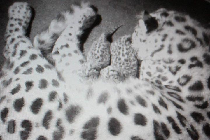 Ineinander gekuschelt liegen sie da: Mama Mia mit ihren Amurleoparden-Zwillingen.