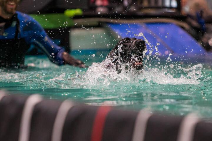 Und platsch! Der Deutsche-Kurzhaar-Rüde Tempo landet beim Dog-Diving im Wasser.
