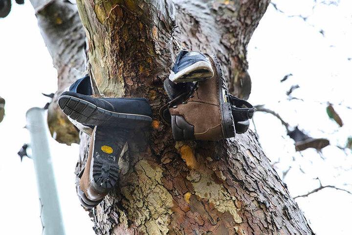 Dutzende gebrauchte Schuhe hängen auf Dresdens erstem Schuhbaum, der sogar einen Eintrag bei Google Maps hat.