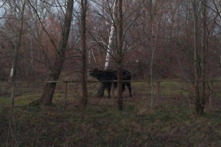 Gegen 16.45 Uhr war der Büffel wieder hinterm Zaun.