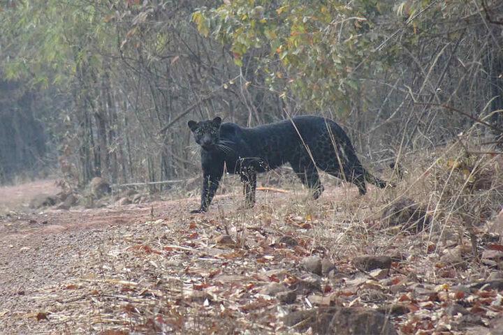 Nur Sekundenbruchteile waren es, dann war der Schwarze Panther schon wieder weg. Die reichten aber, um ein Foto zu schießen.