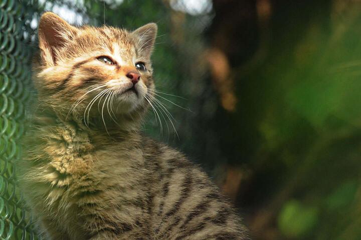 Sind die niedlich! So zuckersüß ist der Wildkatzennachwuchs.