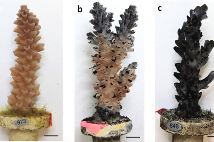 Der Vergleich: Eine Koralle erkrankt nach und nach durch Kohle-Staub.
