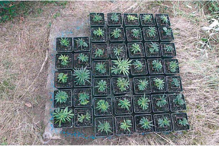 Neben den 17 Pflanzen wurden auch diese 45 Stecklinge gefunden.