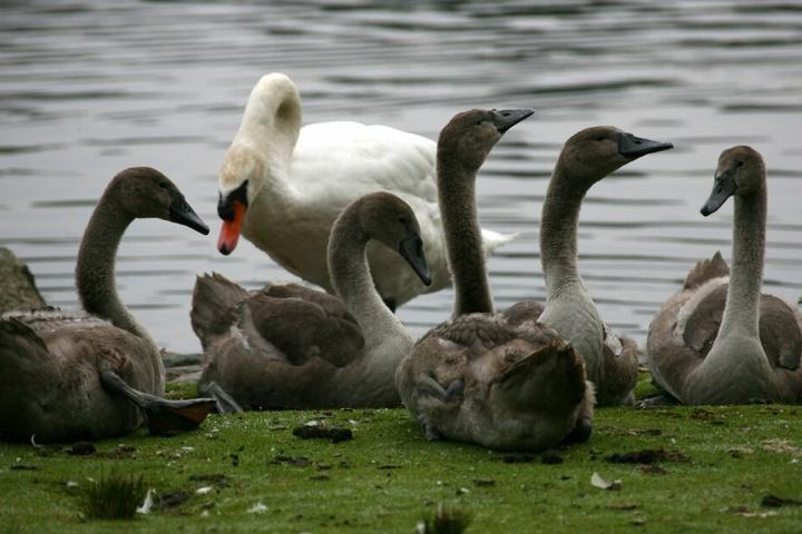 Schon fast ausgewachsen, aber noch im dunklen Gefieder, sitzen Jungschwäne mit ihrer Schwanen-Mama an einem Gewässer Hamburg (Symbolbild).