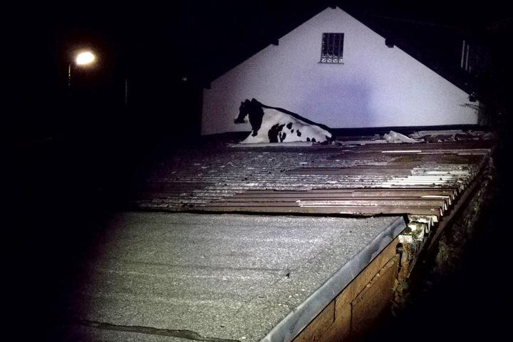 Eine ausgebrochene Kuh war in Morsbach in ein Wellblechdach eingebrochen und wurde von der Feuerwehr gerettet.