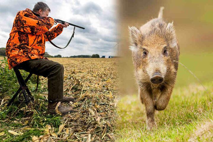 Waidmanns Traum: Die Jäger müssen sich nur gedulden, bis ihnen ein Schwein vor die Flinte läuft. (Bildmontage)