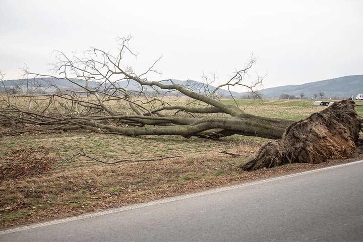 Auf einem Feld wurde ein weiterer Baum entwurzelt.