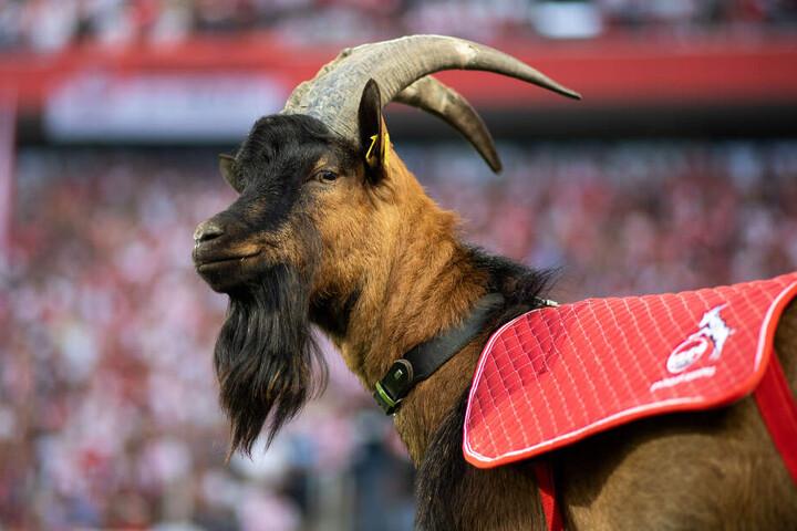 Geißbock Hennes IX. sorgt mit seinem Bart für Aufsehen und unterstützt den 1. FC Köln als offizielles Wappentier.