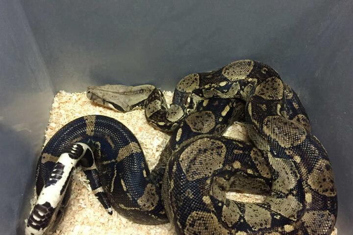 Neben Schlangen wurden ebenso Schildkröten, Echsen und Geckos sowie Krokodile und Alligatoren sichergestellt.