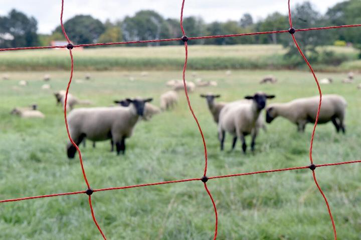 Trotz Elektrozaun soll ein Wolf die Schafe gerissen haben (Symbolbild).