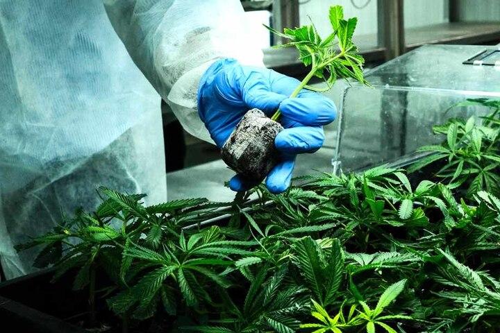 Ein Arbeiter hält eine Cannabis-Pflanze in einem Gewächshaus in Israel. Das Land gilt als einer der weltweit führendeen Standorte bei der medizinischen Cannabisforschung.