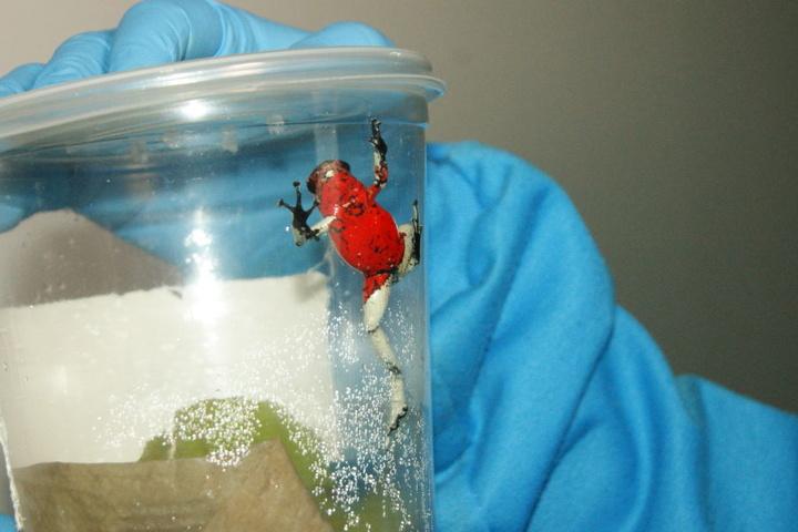 Eine Mitarbeiterin der kolumbianischen Umweltbehörde hält einen Behälter mit einem giftigen Frosch in ihren Händen.