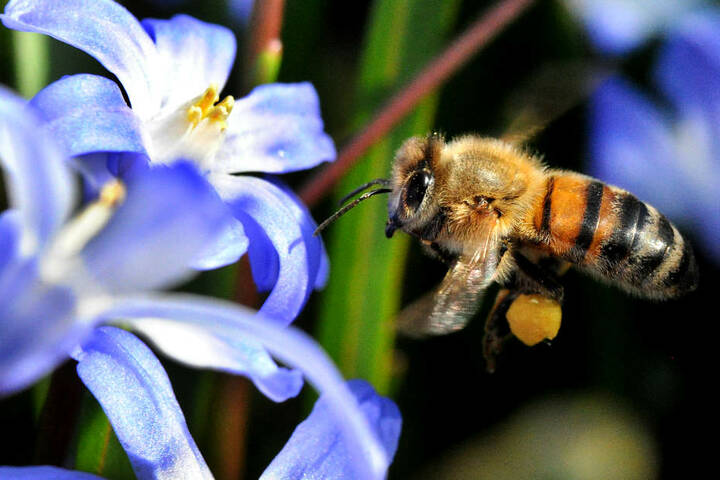 Für erwachsene Bienen ist die Tierseuche ungefährlich.