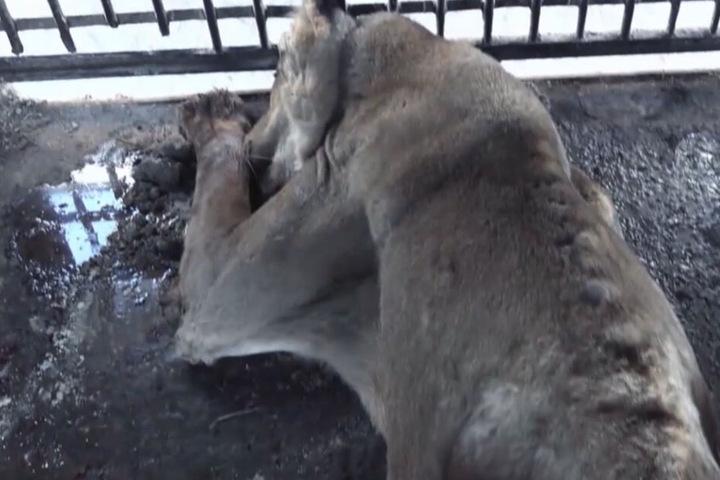 Tierschützer retteten Wildkatzen aus einem spanischen Zirkus, der insolvent ist.