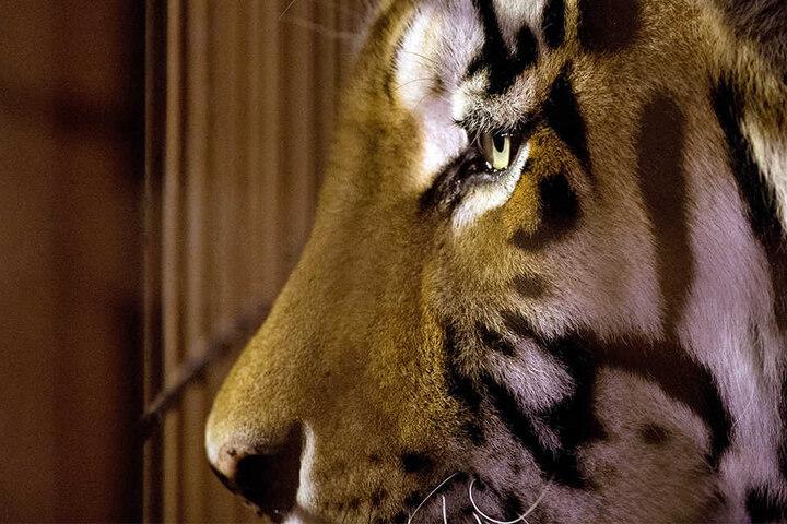 Für eine Ausstellung wird der Tiger nun präpariert.