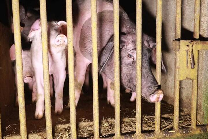 Diese Rüsseltierchen hatten Schwein. Sie überlebten den Scheunenbrand.