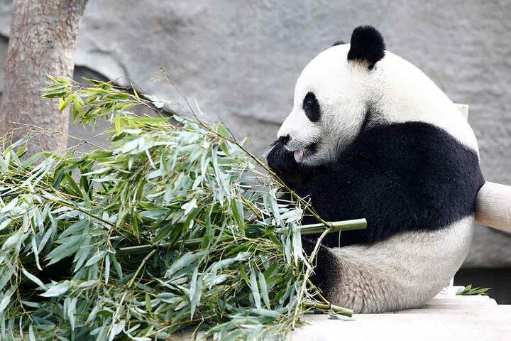 Am liebsten frisst der Panda Bambus.