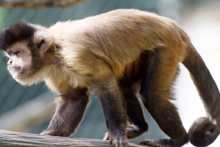 Kapuzineraffen leben in den Wäldern Mittel- und Südamerikas. (Symbolfoto)
