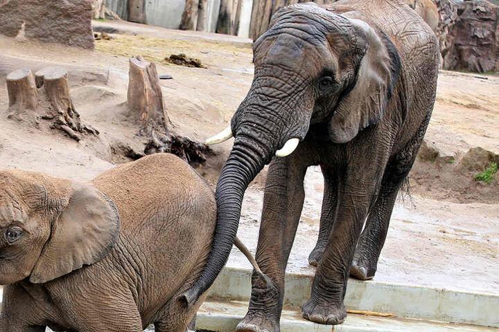 Elefantenbulle Abu (15) soll die Dresdner Dickhäuter-Damen schwängern.