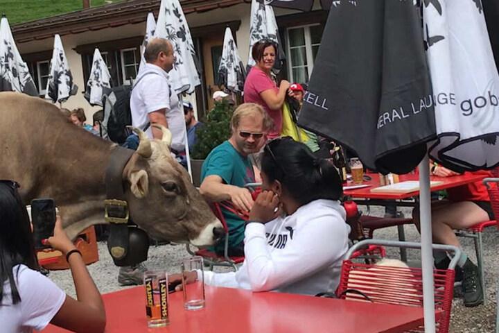 Die Kuh war äußerst neugierig und schlenderte friedlich zwischen den Gästen umher.
