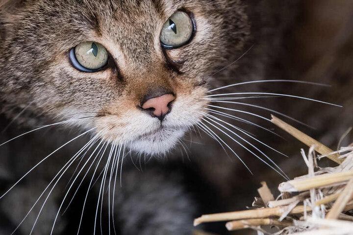 Auf die Spuren der Wildkatzen kann man sich am Samstag begeben.