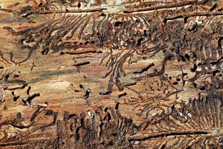 Die Larven des Käfers fressen sich durch die Rinde, im schlimmsten Fall kann der ganze Baum absterben.