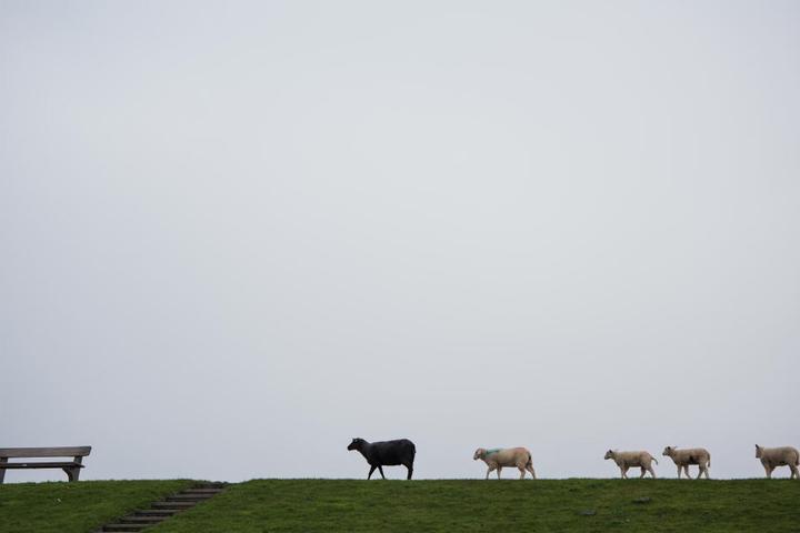 Ein schwarzes und vier weiße Schafe laufen auf der Insel Pellworm über einen Deich.