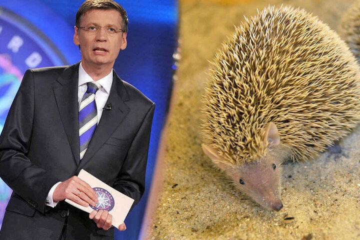 Kennt sich jetzt mit Igeln aus: Günther Jauch (62).