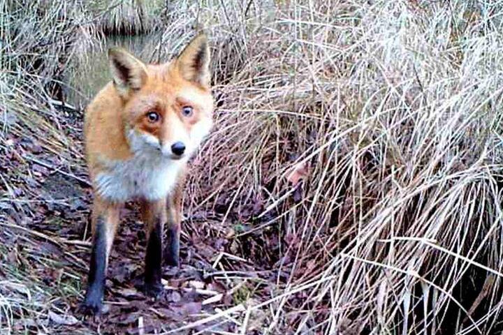 Achtung, Aufnahme! Da kann der Fuchs auch noch so verdutzt gucken.