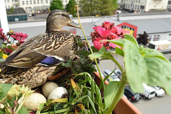 """Nagnag"" hält den Blumenkasten im fünften Stock besetzt, brütet fünf Eier  aus."