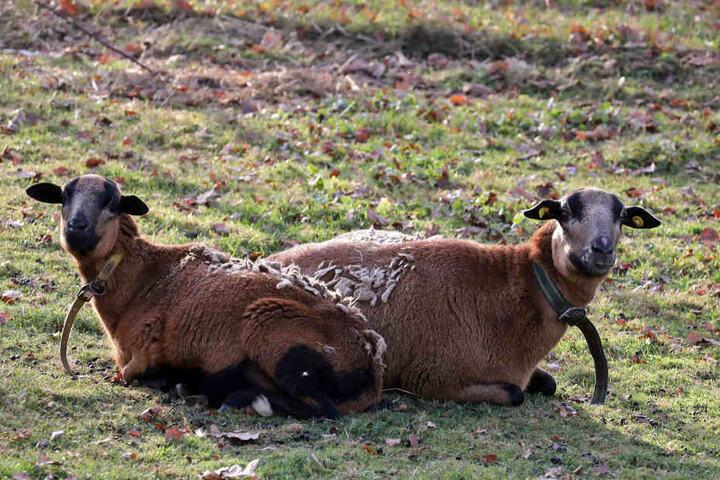 Die überlebenden Schafe müssen ihre Nächte jetzt im Stall verbringen.