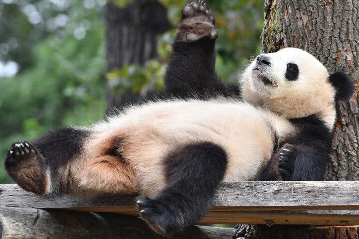 Im Berliner Zoo könnt Ihr niedliche Pandas bestaunen.